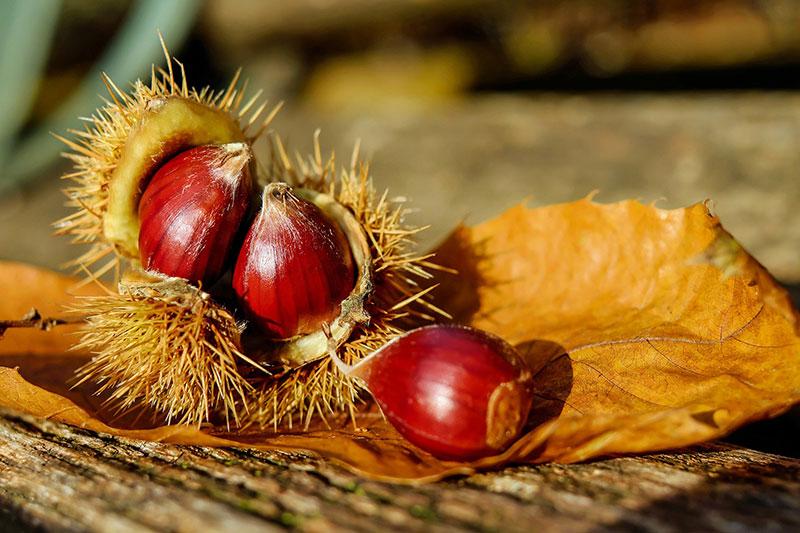 pomme chataigne du cantal village vacances la chataigneraie